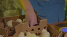 Poulets à la ferme avicole banque de vidéos