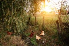 Poulets à la ferme organique image stock