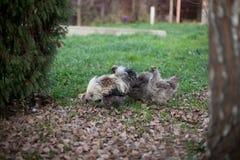 Poulets à la maison photos stock