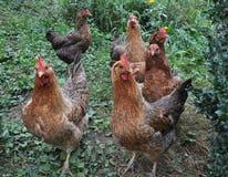 Poulets à la maison dans sur la cour rustique photographie stock libre de droits