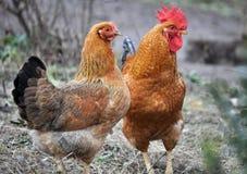 Poulets à la maison dans sur la cour rustique photo libre de droits