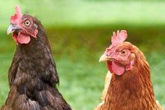 Poulets à la maison ruraux Travail rural lourd de l'élevage Photos libres de droits
