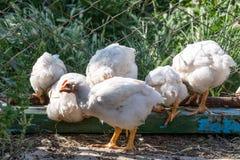 Poulets à rôtir sur une ferme avicole rurale photos stock