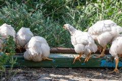 Poulets à rôtir sur une ferme avicole rurale images libres de droits