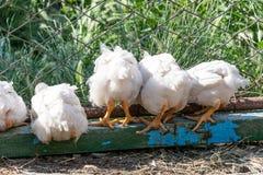Poulets à rôtir sur une ferme avicole rurale photo stock