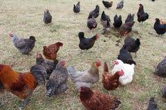 Poulets à une ferme image stock