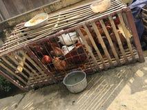 Poulets élevés dans la cage en bois Images libres de droits