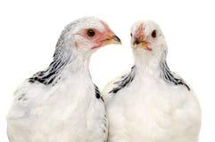Poulets Photographie stock libre de droits