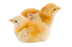 Poulets Photographie stock