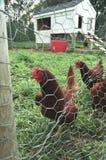 Poulets photos stock