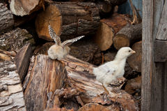 Poulets images stock