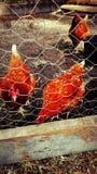 Poulets photographie stock