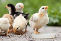 Poulets photo stock