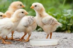 Poulets image stock