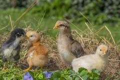 Poulets photo libre de droits