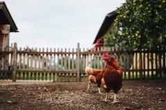 Poulets alimentant sur la basse cour images stock
