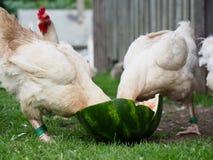 Poulets avec des têtes enterrées en pastèque photo stock