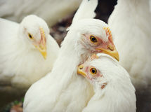 Poulets blancs image stock