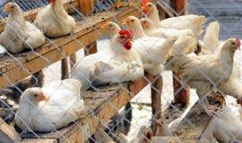 Poulets blancs derrière photos stock