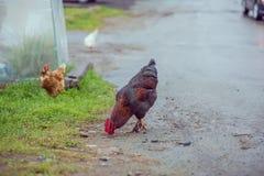 Poulets bruns faits maison marchant sur la route dans le village images libres de droits