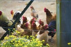 Poulets colorés derrière le fil de poulet Digital peinte photographie stock