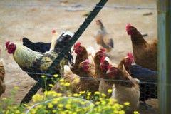 Poulets colorés derrière le fil de poulet Digital peinte photos stock