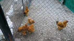 Poulets décoratifs rouges dans la ferme banque de vidéos