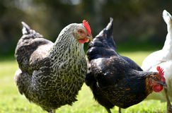 Poulets d'animal familier image stock