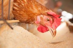 Poulets d'oeufs Photos libres de droits