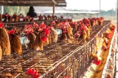 Poulets d'oeufs dans la ferme locale Photos stock