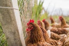 Poulets dans des bras dans la ferme à côté de la barrière photographie stock