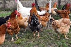 Poulets dans l'arri?re-cour mangeant les grains et l'herbe de ma?s photo libre de droits