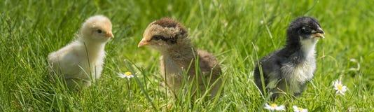 Poulets dans l'herbe images libres de droits