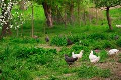 Poulets dans l'herbe verte images stock