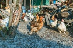 Poulets dans la basse cour Photo stock