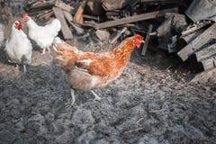 Poulets dans la basse cour Photos libres de droits