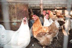 Poulets dans la basse cour Photos stock