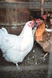 Poulets dans la basse cour Image libre de droits