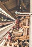 Poulets dans la cage à la ferme de poulet Le poulet eggs la ferme photographie stock libre de droits