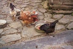 Poulets dans la cour au pays photo libre de droits