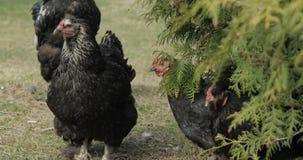 Poulets dans la cour pr?s de l'arbre Poulet noir dans le village photographie stock