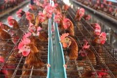Poulets dans la ferme photo stock