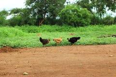 Poulets dans la ferme photos libres de droits