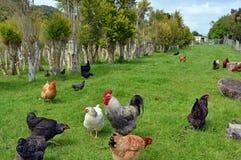 Poulets dans la plantation d'arbre de thé Images stock