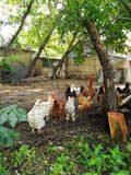 Poulets dans le corral photos libres de droits