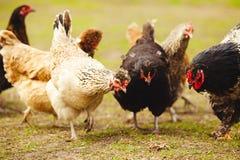 Poulets dans le jardin Tir en gros plan des pondeuses images stock