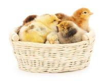 Poulets dans le panier images stock
