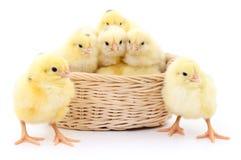 Poulets dans le panier image stock