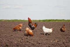 Poulets dans le potager Photos libres de droits