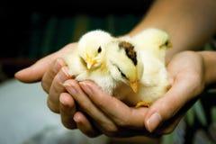 Poulets dans les paumes Photo libre de droits